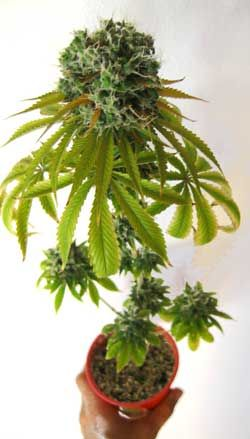 What's The Fastest Way To Grow Marijuana?