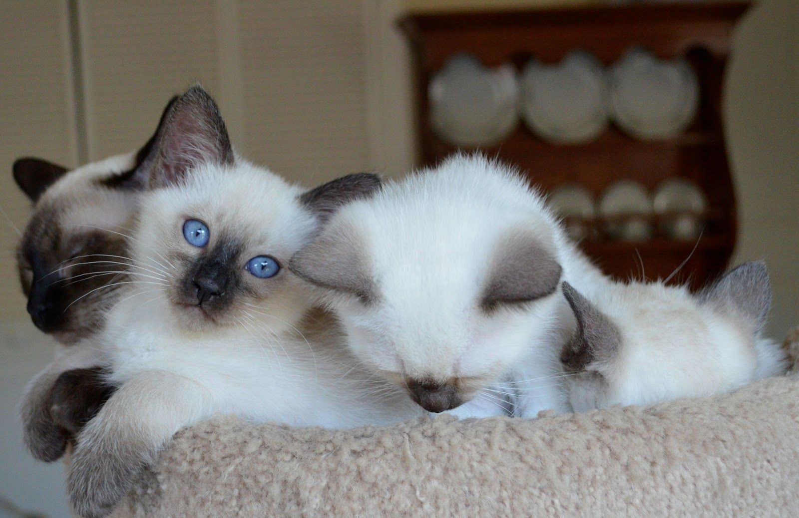 Lilac Point Siamese Cats Hd Cats Wallpaper Hd Siamese Cats Facts Balinese Cat Siamese Cats