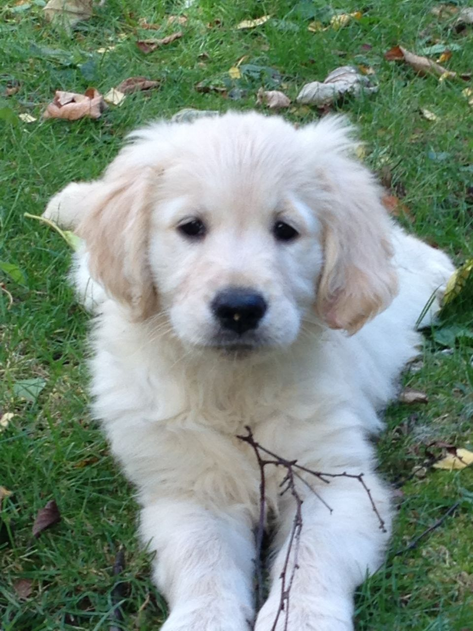 If we don't have any golden retriever puppies for sale at