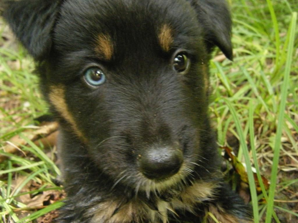 German Shepherd Puppy With Two Different Colored Eyes Puppies