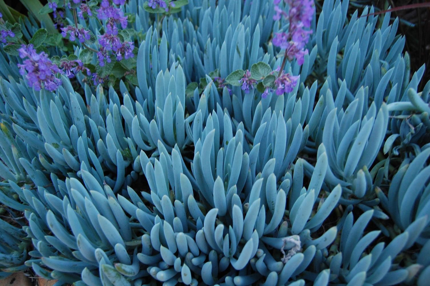 Blue chalk sticks plant - We Have Just Had An Exciting Delivery Of Succulent Arrive Including The Magnificent Blue Chalk Sticks Plant Pictured Above