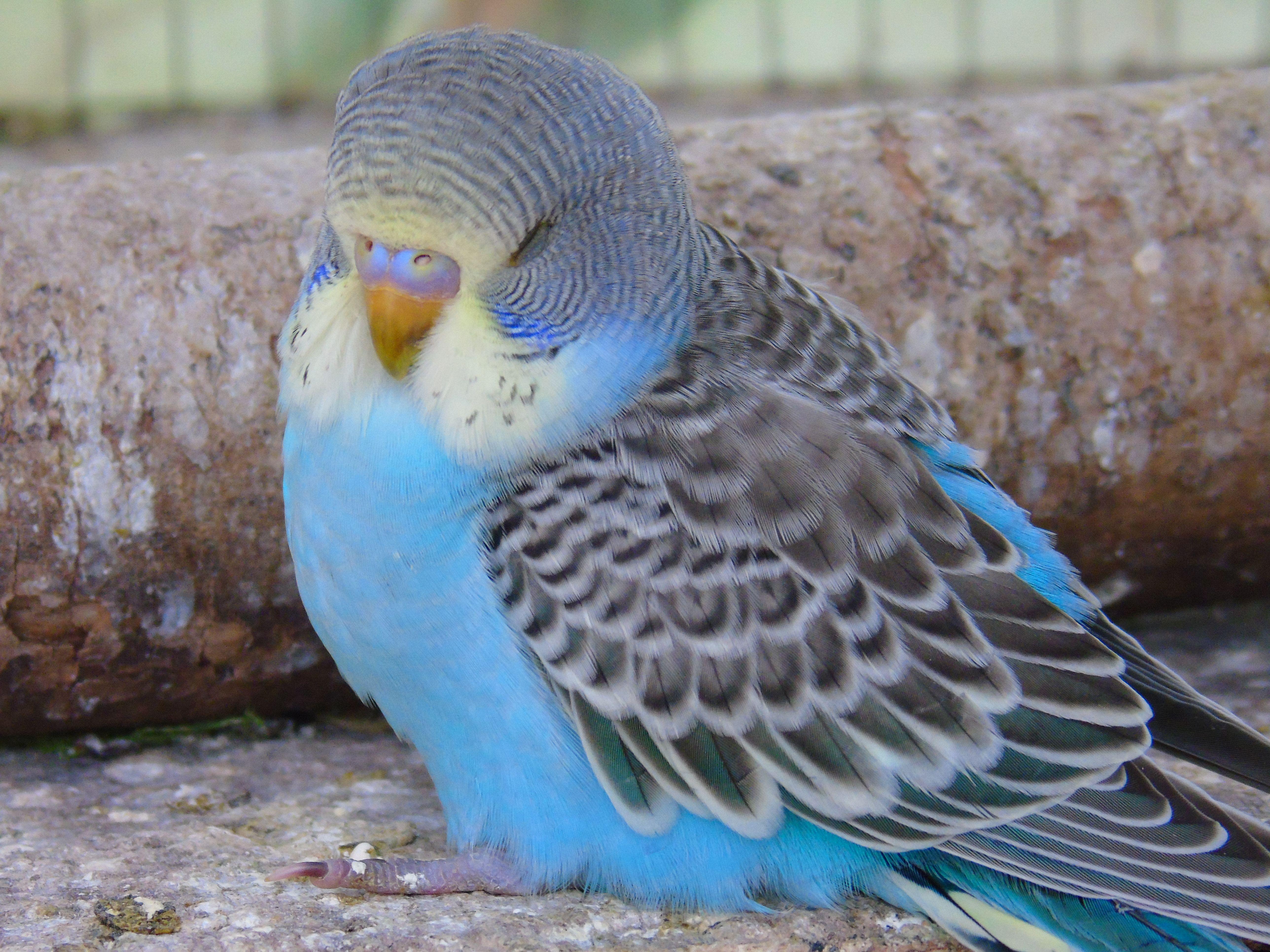 parakeet yellowheaded skyblue baby budgie bubbies