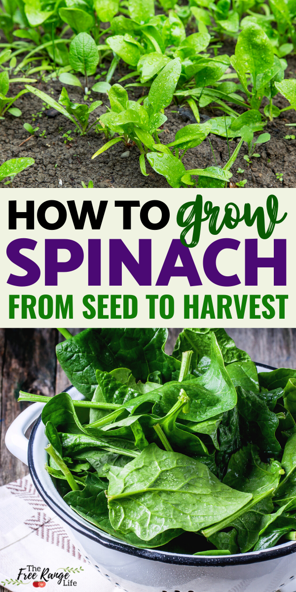 How to Grow Spinach from Seed