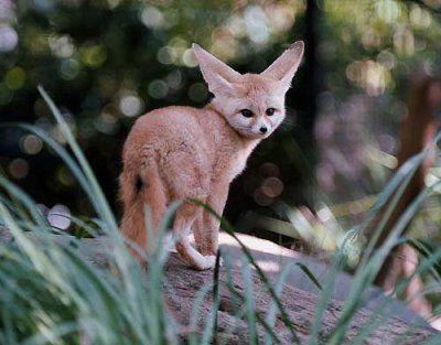 Fabuleux animaux en voie de disparition liste rouge - Recherche Google  FB92
