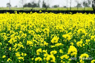 Khetibadi Ki Jankari Sarso Ki Kheti A Key Crop Of Haryana Rajasthan Fields Places To Visit Nature