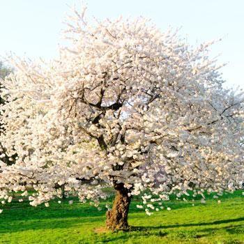 White Flowering Dogwood Trees For Sale Fastgrowingtrees Com Flowering Cherry Tree Fast Growing Trees Flowering Trees