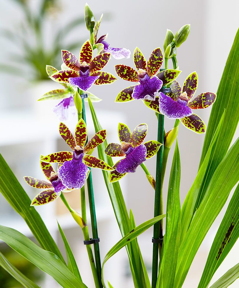 Orchidee zygopetalum plant bakker orchid zygopetalum is orchidee zygopetalum plant bakker orchid zygopetalum is a rather unusual eye catching orchid from the inland of south america izmirmasajfo