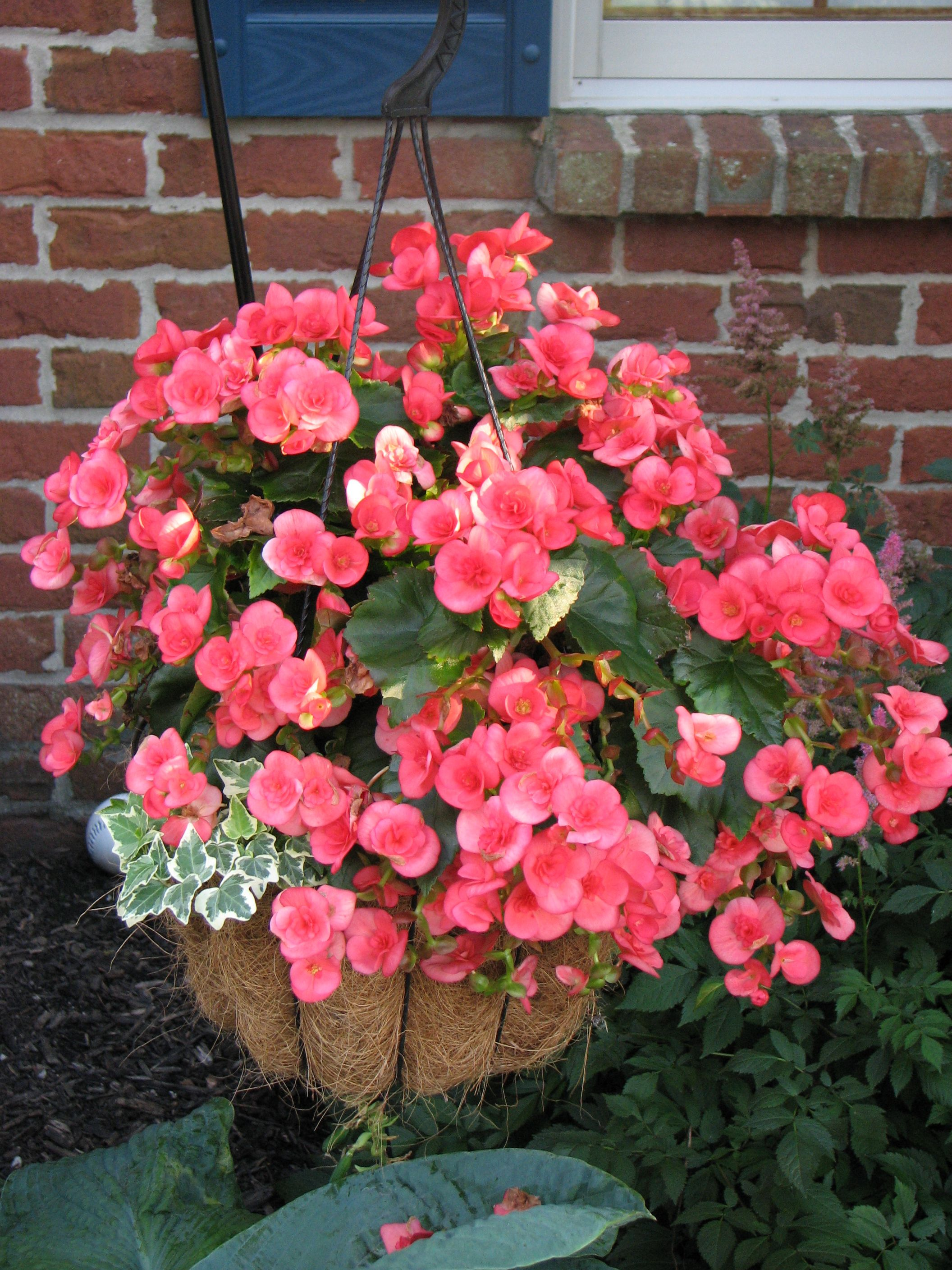Rieger Begonia And English Ivy English Ivy Plants