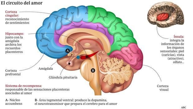 Cerebro enamorado: Mucho más que «química» | Habilidades para la ...