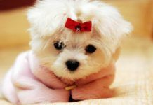 An Ancient Breed The Maltese Wise Words Cute Dog Wallpaper