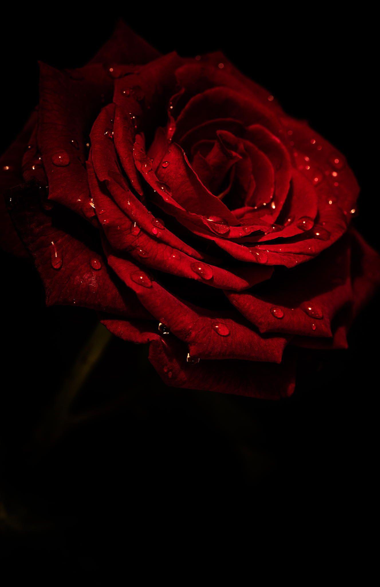 Rose Ii Rose Flower Wallpaper Red Rose Pictures Red Roses Wallpaper