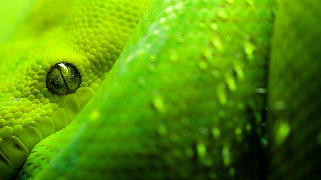 Python Snake Wallpapers Hd Wallpapers Inn Fond D Ecran Serpent Animaux Photos