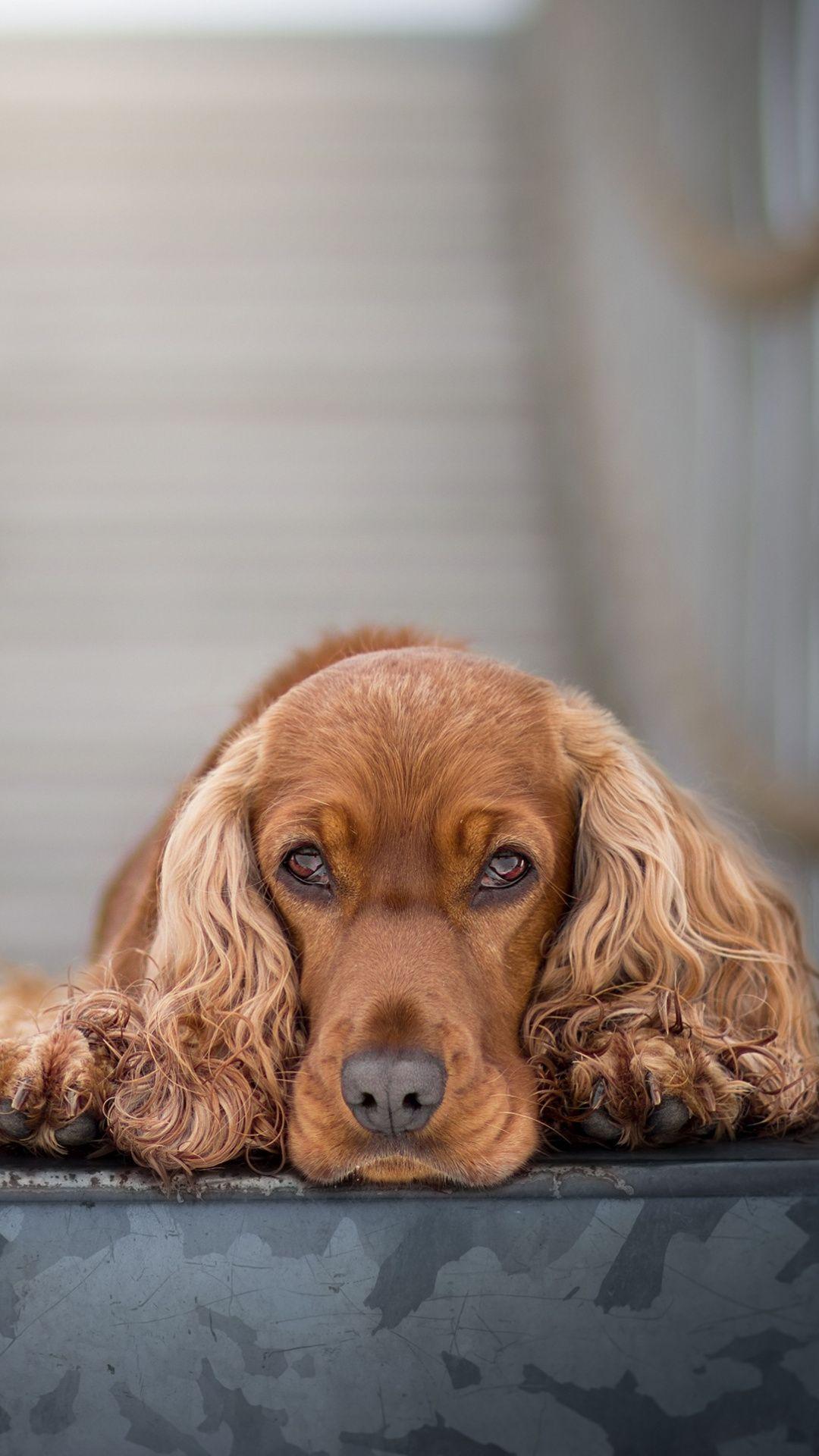 Downaload Cocker Spaniel, cute, muzzle wallpaper for