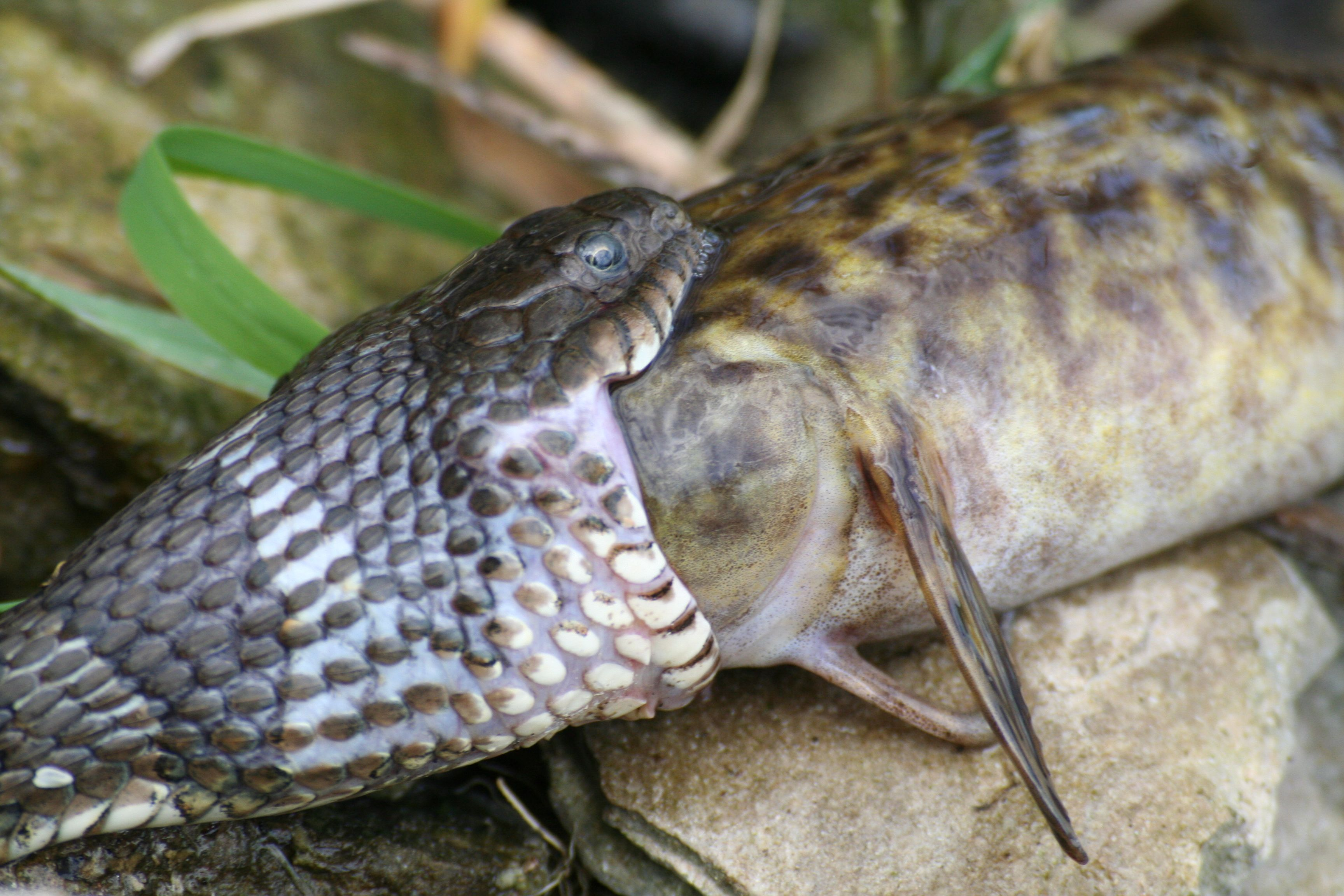 Snake eating fish my photos pinterest snake and reptiles for Snake eating fish