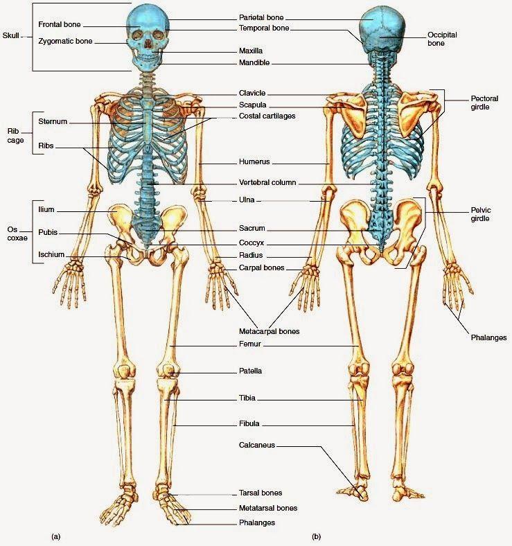 body anatomy - Pesquisa Google | Skeleton System | Pinterest