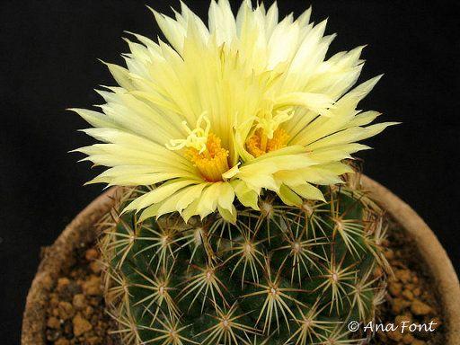 Conoce el nombres de los cactus m s populares flores for Nombres de cactus