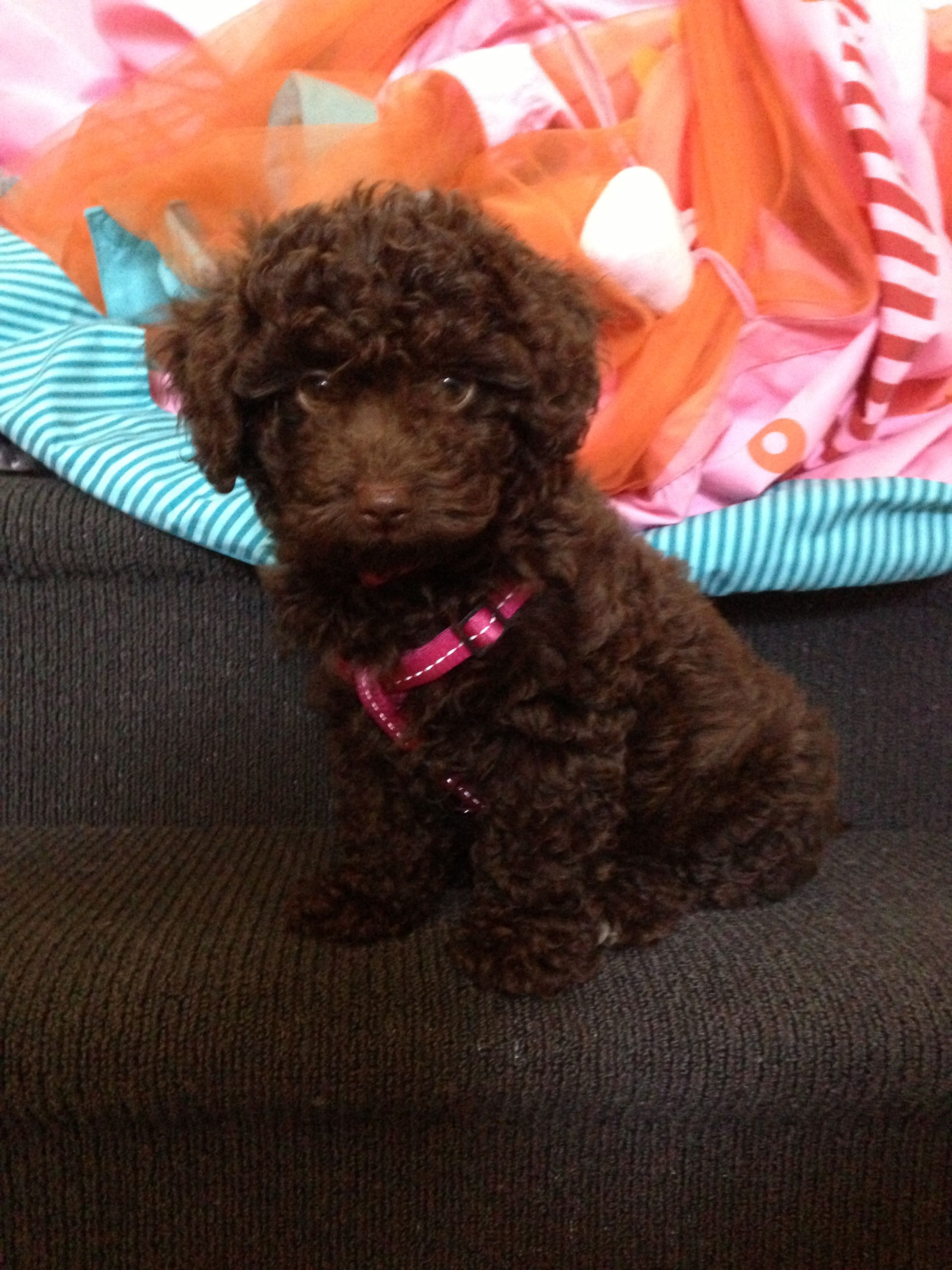 Cavoodle Puppy Dog Puppies Dogs Dogs And Puppies