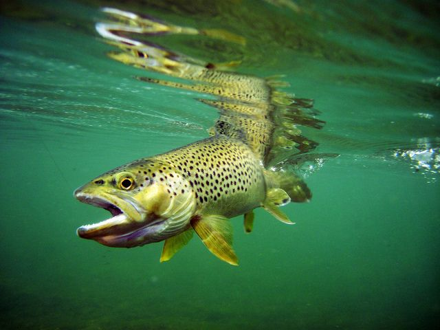 Brown Trout Under Water Green River 2 Fishing Photography Trout Fish