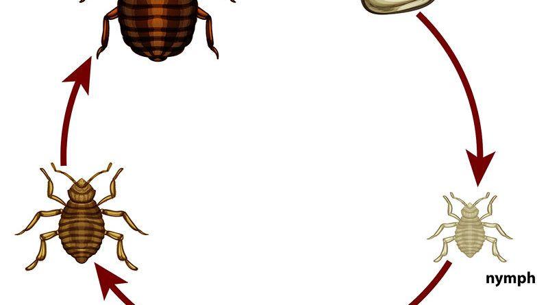 كيفية القضاء على بق الفراش نهائيا من المنزل اكتشف أفضل طرق التخلص من حشرة العته من المفروشات والوسائد والكنب وكيف تستخدم الأعشاب لطرد حشرات Bed Bugs Bed Bugs