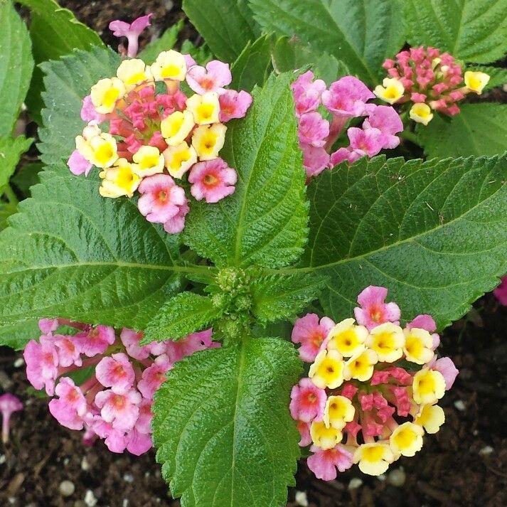 Lantana Tropic Pink Bird Lantana Pink Bird Flowers