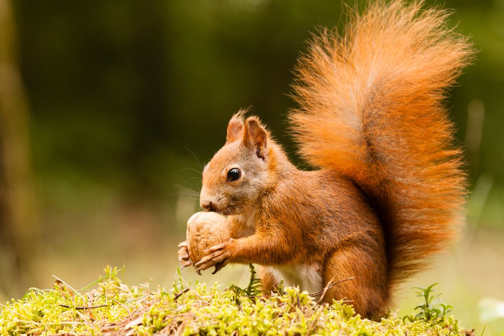 A squirrel collecting nuts for winter   Squirrel pictures, Red squirrel, Squirrel