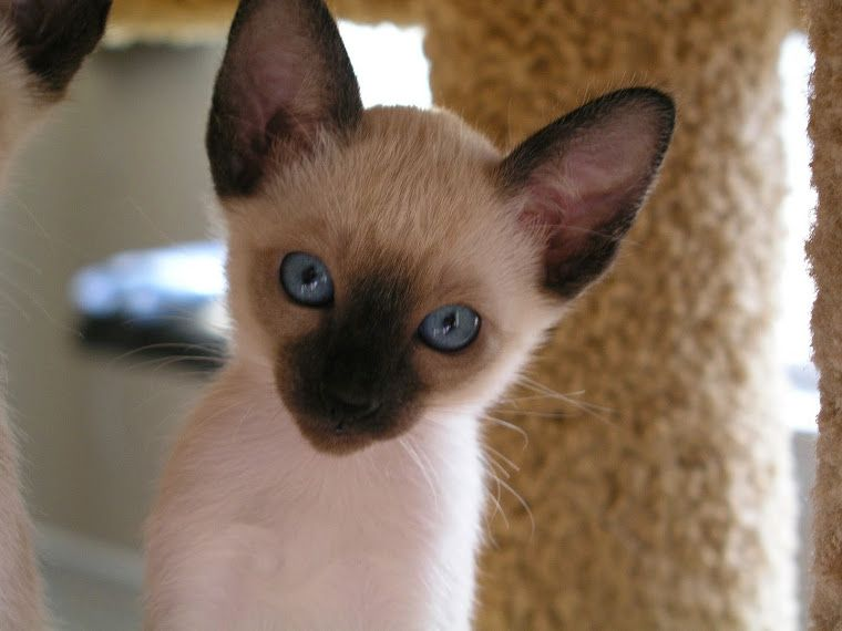 Carolina Blues Cattery Siamese Kittens For Sale Siamese Cats Siamese Kittens Kittens
