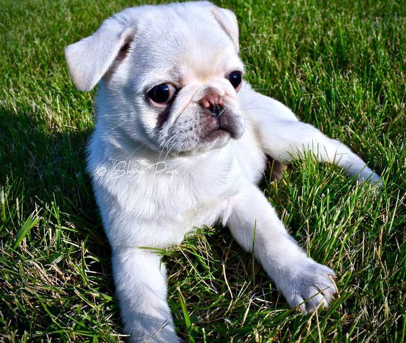 Pug Pics Pug Pictures White Pug Pugs