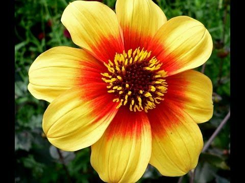 Winter Season Flowers Plants Urdu Hindi Winter Flowers In Season Beautiful Flowers Summer Flowering Bulbs