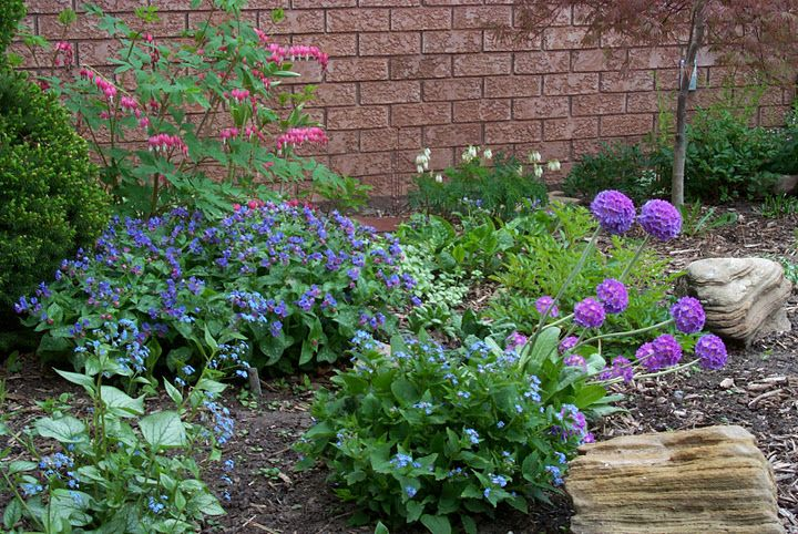 Bleeding Heart Pulmonaria Mrs Moon Jack Frost Brunnera White Fringed Bleeding Heart Drumstick Allium Shade Garden Country Gardening Outdoor Inspirations