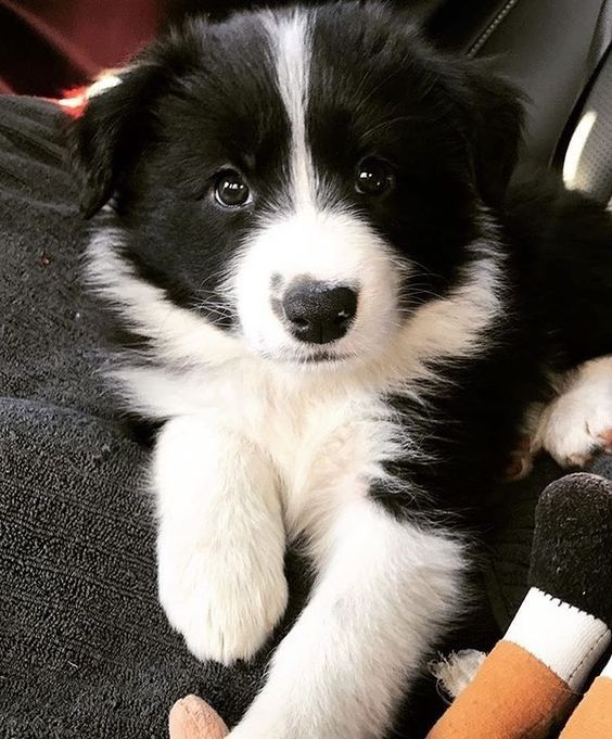 50 Scottish Names for Female Dogs Border collie puppies