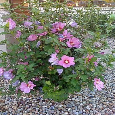 Onlineplantcenter 2 Gal Aphrodite Hibiscus Or Althea Shrub H00224