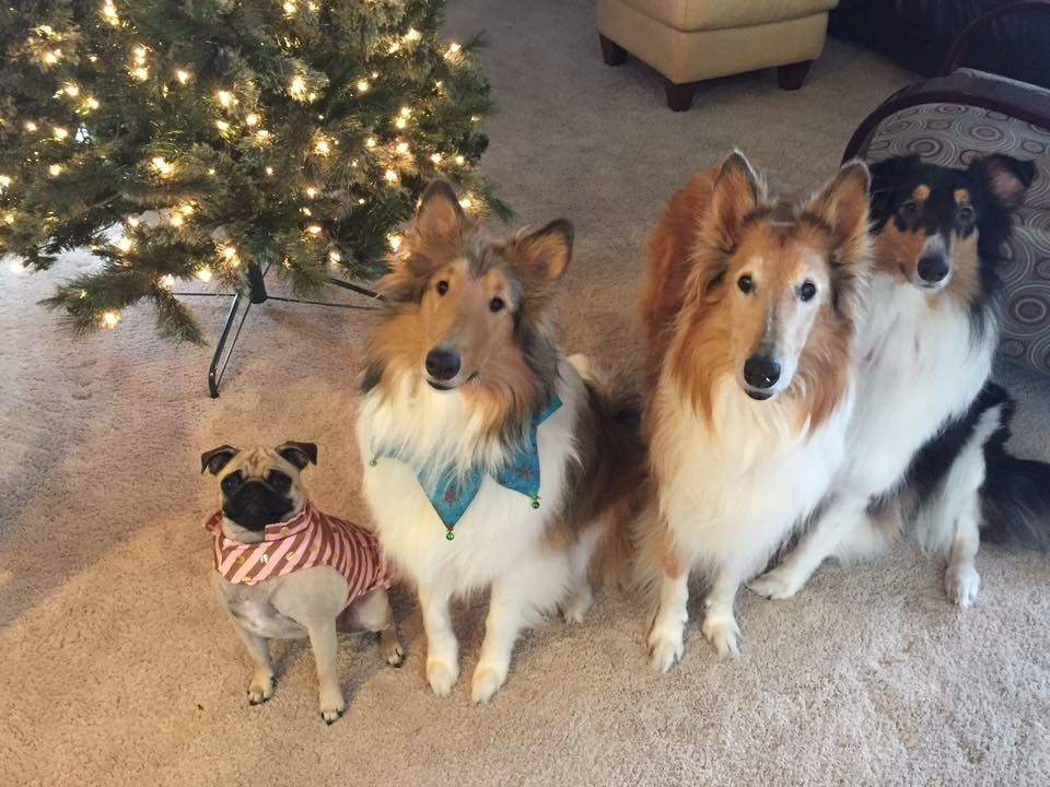 Christmas Collies And A Pug Pet Holiday Christmas Dog
