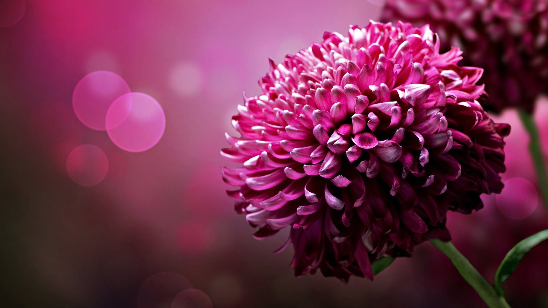 Download flower wallpapers flower pics flower picture flower