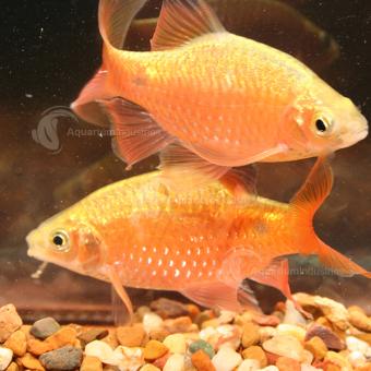 Rosy Barb Aquarium Industries Aquarium Fish Orange Fish Goldfish