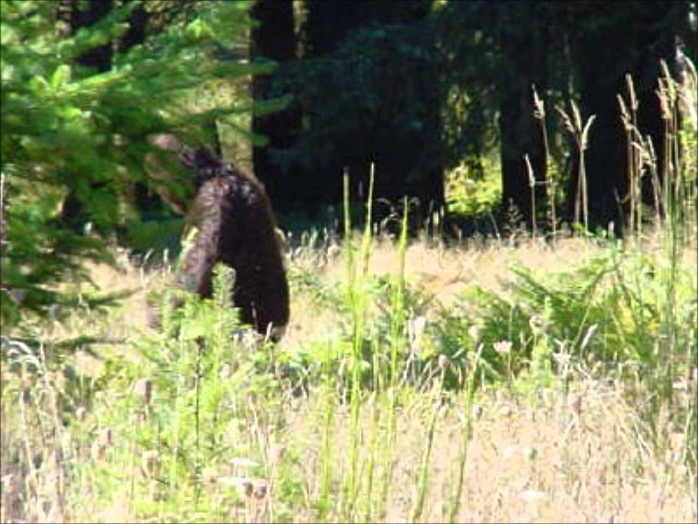 The 5 Best Bigfoot Sightings of 2014 Bigfoot photos