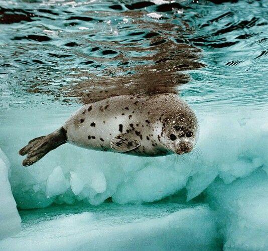 Harp Seal Harp Seal Cute Seals Seal Pup