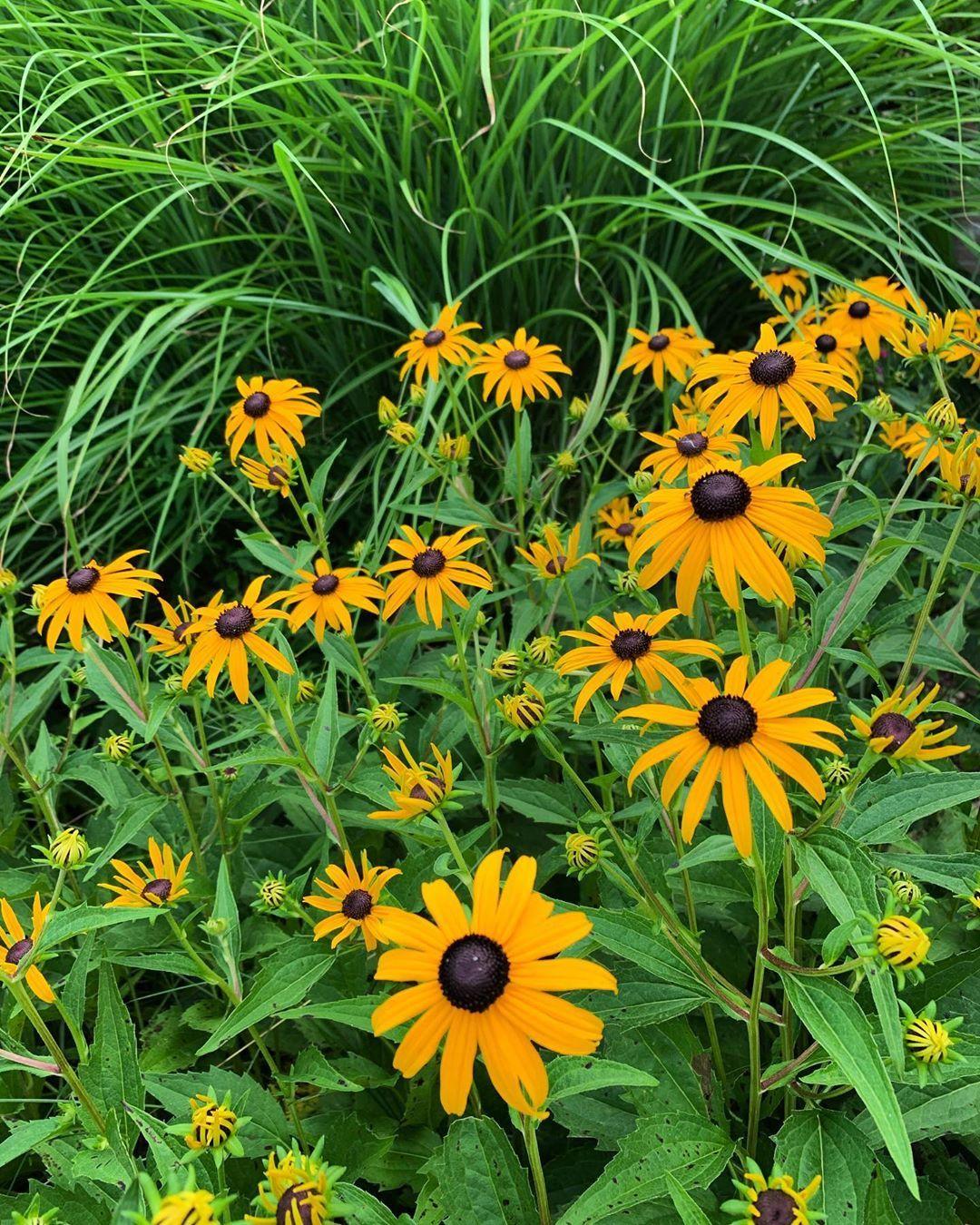 Black Eyed Susan Flowers Garden Summer Blomster Hage Sommer Garten Blumen Pflanzen Planter Plants Plants