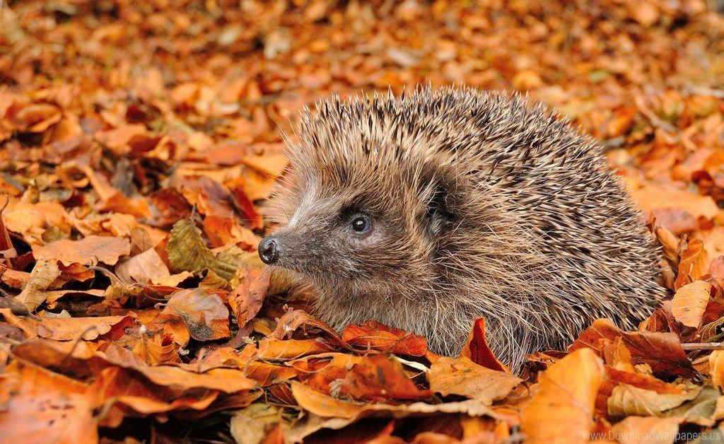 Autumn Foliage Grass Hedgehog Wallpaper Animals Cool Pets Animals Beautiful