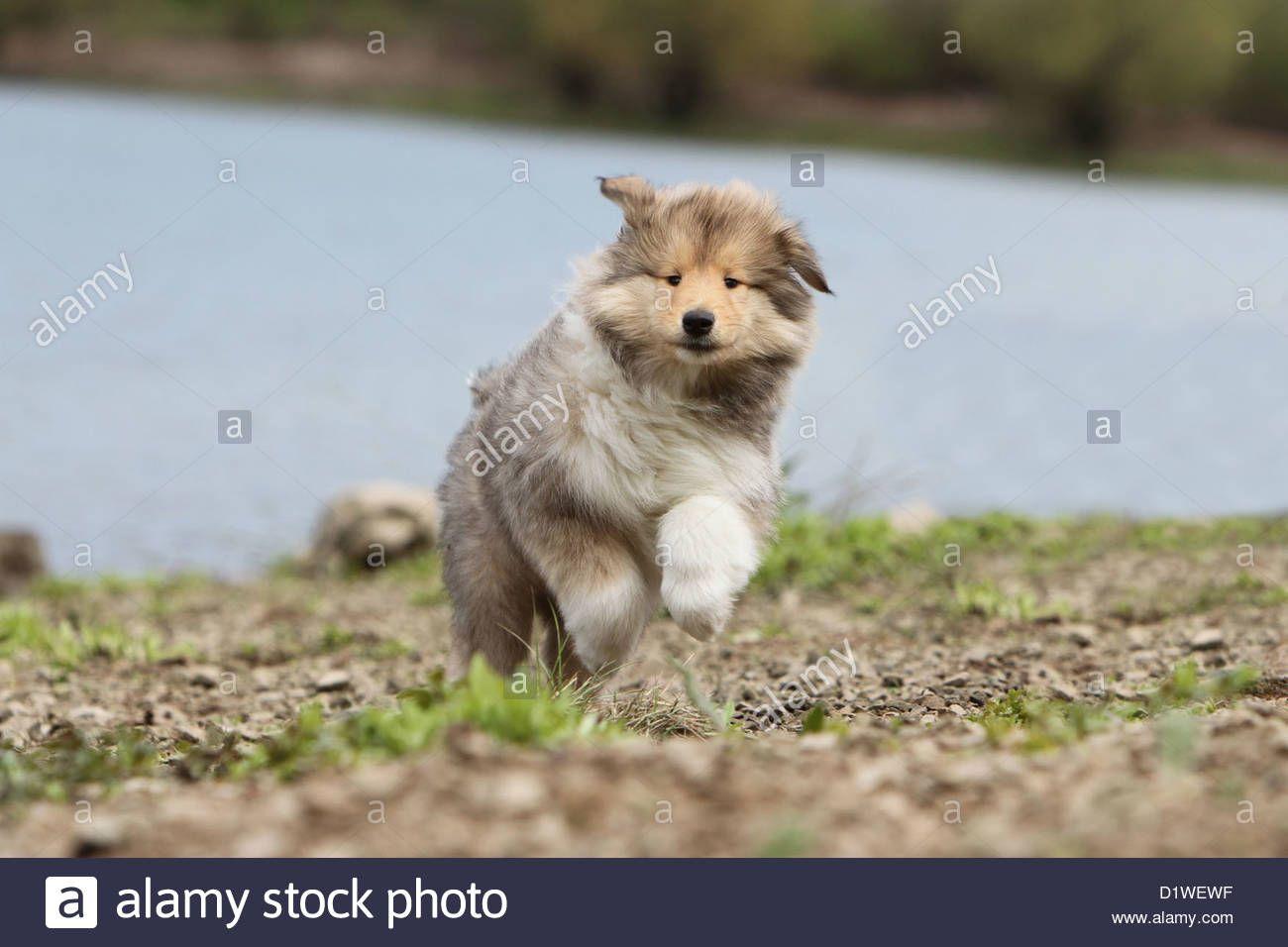 dog-rough-collie-scottish-collie-puppy-sable-white-running-on-the-D1WEWF.jpg (1300×956)