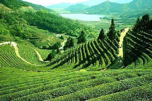 5a35539a0ffb58bf4cc77643e7aeea2a - List Of Tea Gardens In Darjeeling