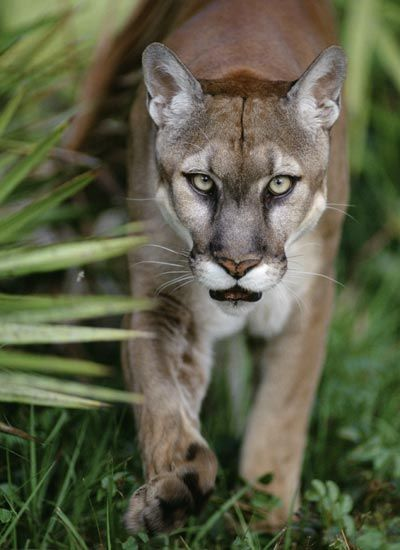 Florida cougar pictures