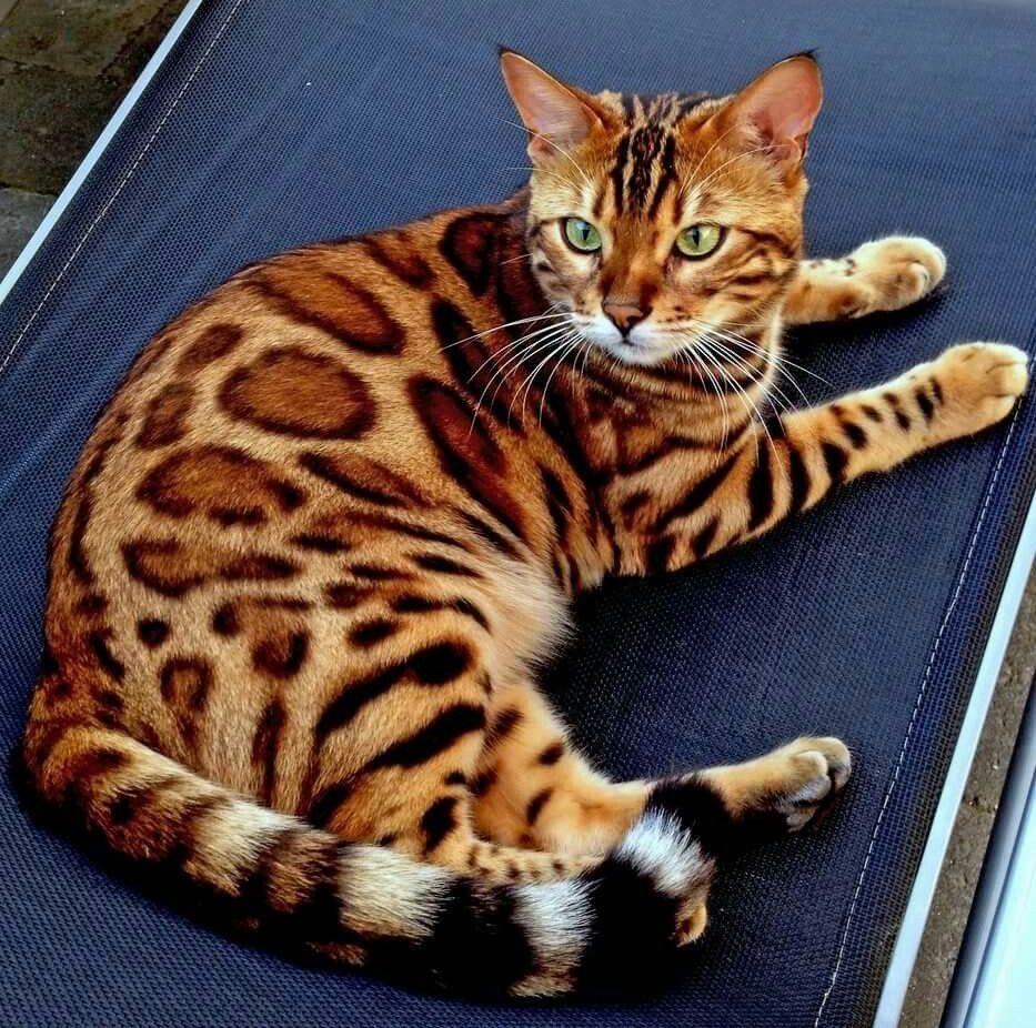 Pin By Isabel Furler On Animals In 2020 Bengal Cat Cats Bengal Tiger Cat