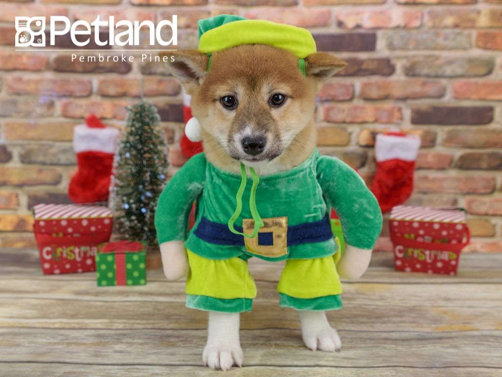 The Journey Of Life Is Sweeter With A Shiba Inu Find Your Perfect Match At Petland Pembroke Pines Puppy Friends Shiba Inu Pembroke Pines