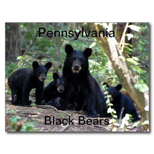 Mama Black Bear with Triplet Cubs Postcards