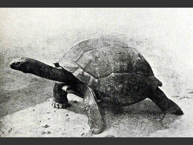 There's some controversy over whether the Seychelles Giant Tortoise is extinct altogether or just extinct in the wild. In the 19th century the Seychelles Giant Tortoise, much like similar tortoise species on other Indian Ocean islands, was hunted to extinction.