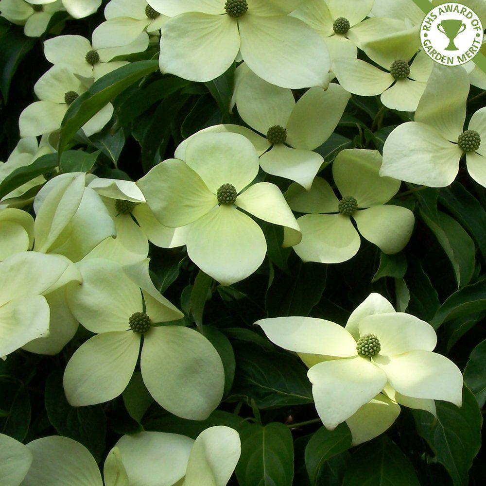 Cornus Norman Haddon White Flowering Dogwood Dogwood Norman