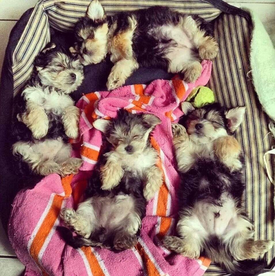 Awwwwwwyorkies yorkie puppy yorkshire terrier