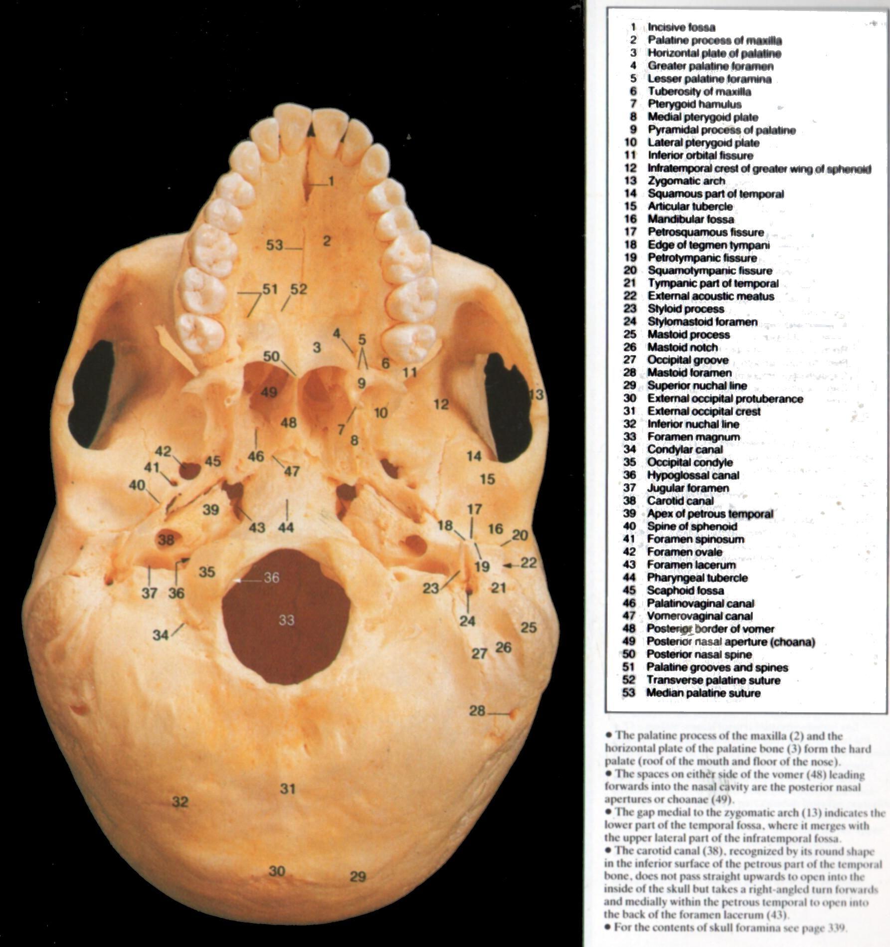 Stylomastoid Foramen Anatomy