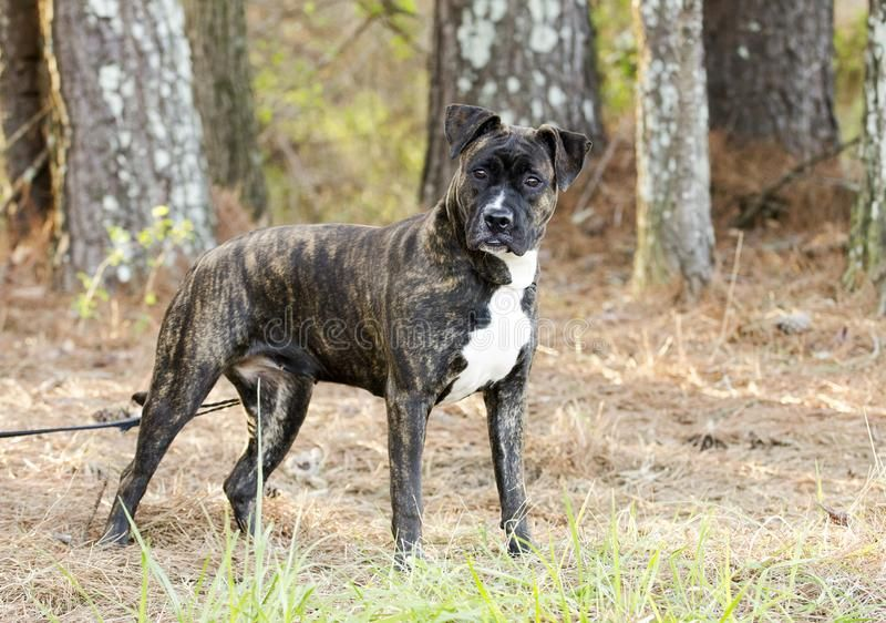 Image Result For Presa Canario Boxer Mix With Images Boxer Mix
