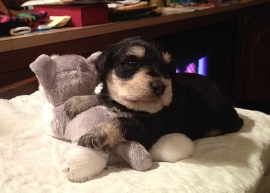 My mini schnauzer Brooks! He is 5 weeks old.